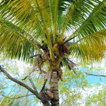 Placida area palm