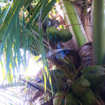 Gasparilla Island coconut tree